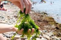 Découverte des algues et dégustation